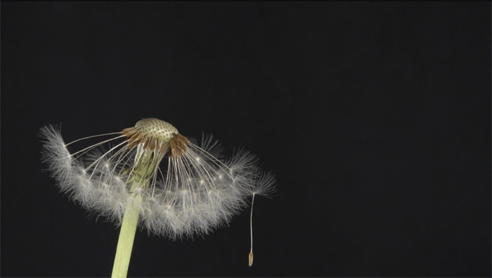 Lea Schiess | Where did it go?/Dandelion, 2015